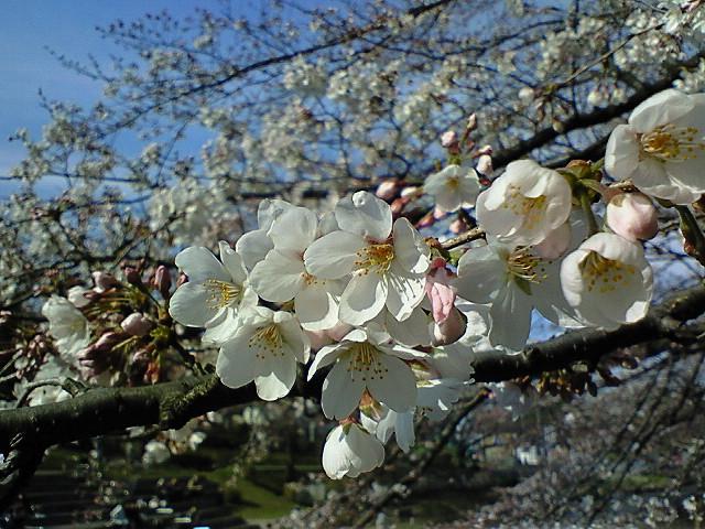 お花見@横浜岸根公園ナウ